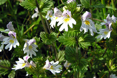 Euphrasia_officinalis
