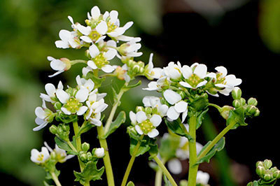 ccochlearia_officinalis